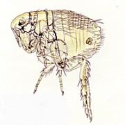 ケアプスネズミノミ(成虫)