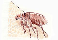吸血中のネコノミ成虫(♂)